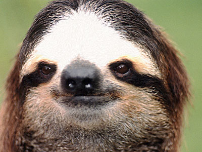 photograph of a friendly sloth