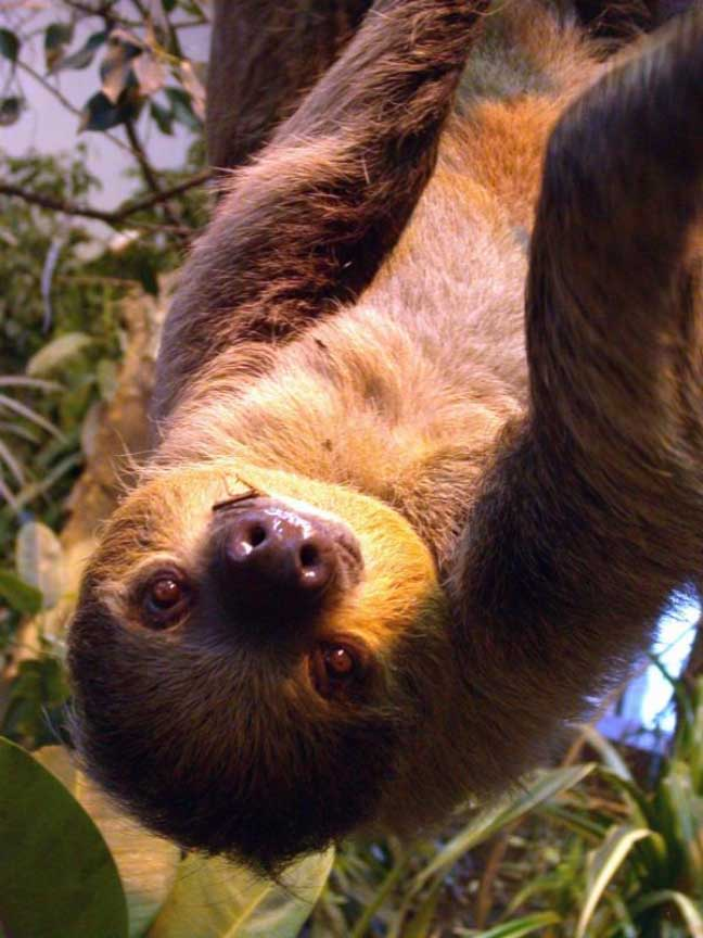 photograph of a sloth
