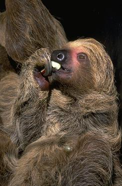 photograph of a Hoffman's sloth