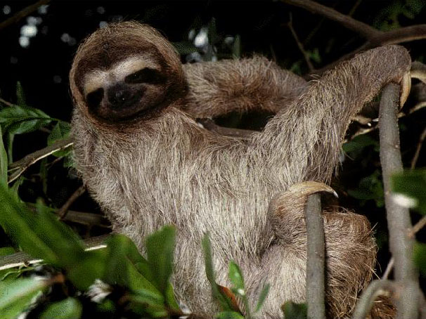 photograph of a hairy sloth