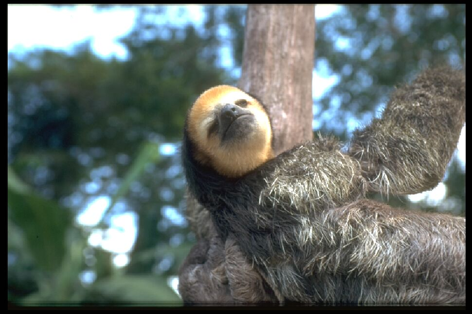photo of sloth up a tree