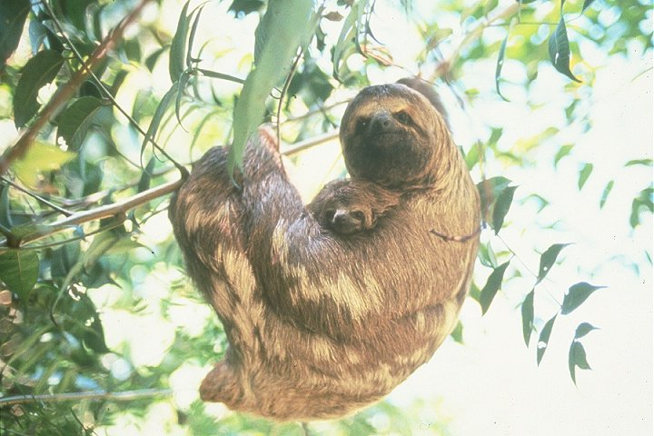 photo of three-toed baby sloth and her mother