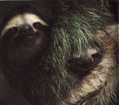photograph of a three-toed sloth